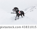 Black rescue dog searching on snow. 43831015
