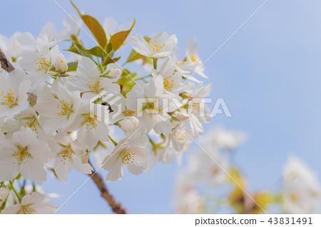 Cherry blossoms at Shin-Yokohama Park 43831491