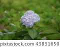 Beautiful Hydrangea Flowers. 43831650