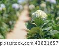 Beautiful Hydrangea Flowers. 43831657
