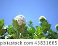 Hydrangea flowers are blooming in Dalat's garden. 43831665