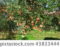 사과나무 43833444