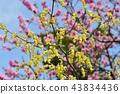 毛茛冬季淡褐色 陽光明媚的山茱萸 花朵 43834436