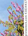 毛茛冬季淡褐色 陽光明媚的山茱萸 花朵 43834437