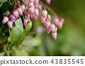 馬醉木 花朵 花 43835545