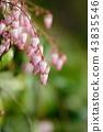 馬醉木 花朵 花 43835546