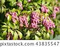 馬醉木 花朵 花 43835547