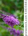 醉魚草 花朵 花 43835681