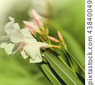White oleander blossoms growing in a garden. 43840049