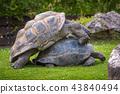 Two Aldabra Giant Tortoises mating 43840494