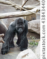 the male gorilla 43843440
