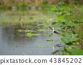 野生鳥類 野鳥 動物 43845202