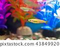 medaka rice fish, fish, fishes 43849920