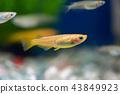 medaka rice fish, fish, fishes 43849923