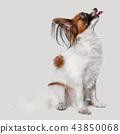 Studio portrait of a small yawning puppy Papillon 43850068