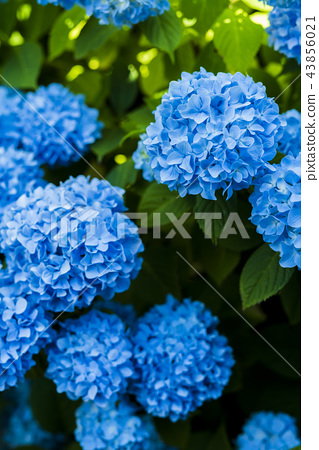 Hydrangea blooming in the shade 43856021