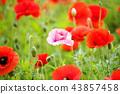 꽃,양귀비 43857458