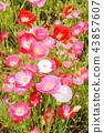 꽃,양귀비 43857607