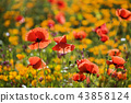 꽃,양귀비 43858124