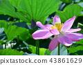 연꽃 43861629
