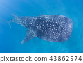 Whale Shark in the Maldives 43862574