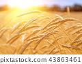 wheat ear harvest 43863461