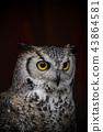 boreal, forest, predator 43864581
