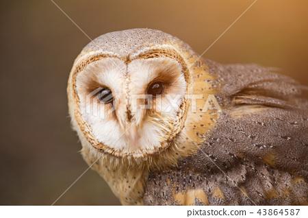A beautiful barn owl, close-up. 43864587