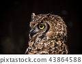 Portrait of eagle owl with dark background. 43864588
