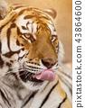 Close up of a Siberian tiger (Panthera tigris altaica). 43864600