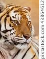 Close up of a Siberian tiger (Panthera tigris altaica). 43864612
