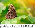 Blue morpho (morpho peleides) on green nature background. 43864802