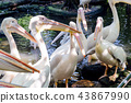 Great White Pelican in the zoo 43867990