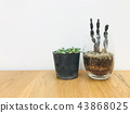 Cactus on wood texture background 43868025