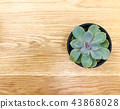 Cactus on wood texture background 43868028
