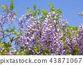Wisteria flowers 43871067