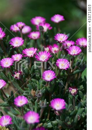 "Hime Matsuba chrysanthemum Derosperma Flower language is ""innocent"" 43871803"