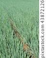 파, 대파, 밭 43872126