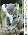 Lazy Koara on Tree 43873071