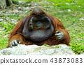 Dominant male orangutan 43873083