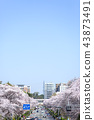 kunitachi city, row of cherry trees, spring 43873491