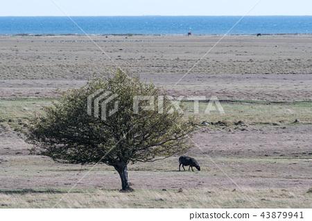 Lone grazing sheep in a wide grassland 43879941