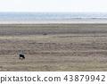 Alone grazing sheep 43879942