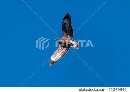 European Honey Buzzard with spread wings 43879943