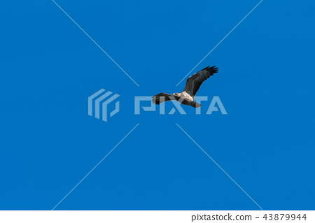 Honey Buzzard in flight 43879944
