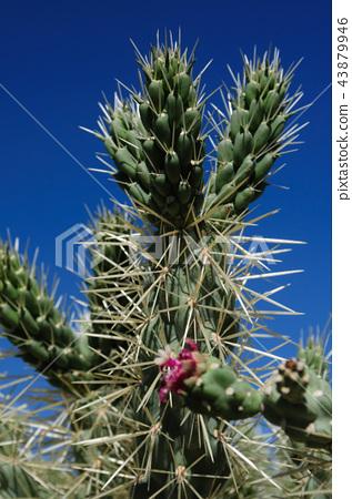 Giant Saguaro in Southern Arizon 43879946