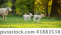 cute little lamb on fresh green meadow 43883538