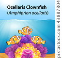 Ocellaris clownfish card concept 43887804