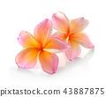 Frangipani flower isolated on white background 43887875