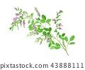 Lespedeza bicolor 싸리 43888111